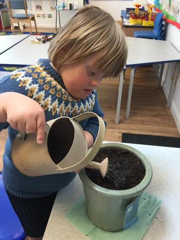 Planting sweet pea seeds and watering them