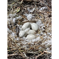 How many swan eggs in the nest?