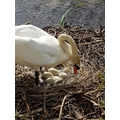 Another swan nesting...which will hatch first?