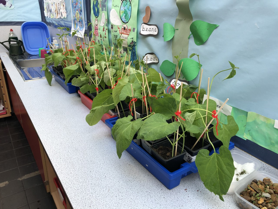 Our beans are growing well.