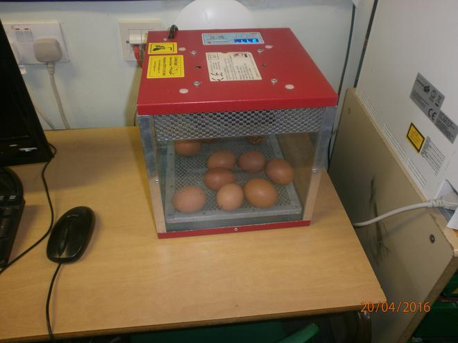 The eggs are keeping warm in the incubator.