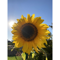 Joseph's sunflower