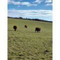 Cows distancing nicely ;-)