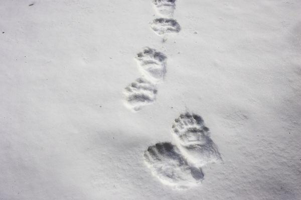 Brown bear prints in the snow