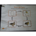 Maria's life cycle of a duck