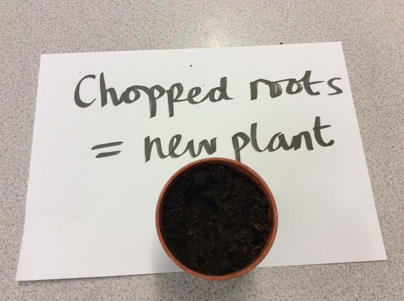 We chopped a dandelion root and planted pieces