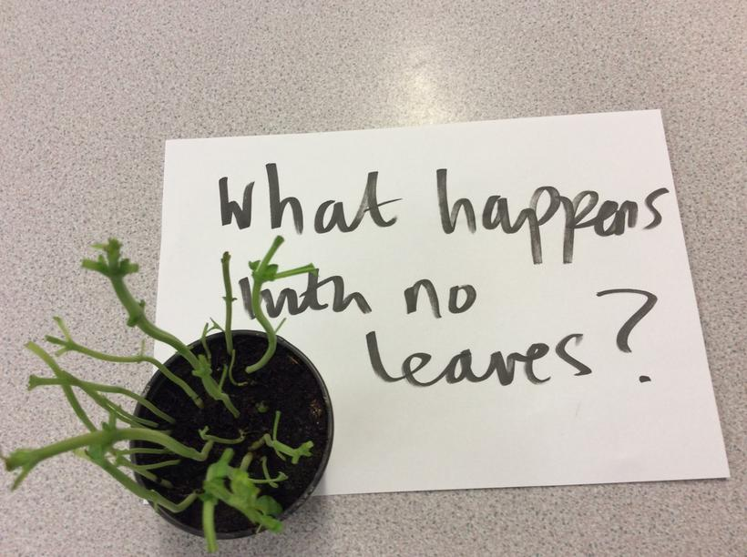 We stripped a basil plant of all its leaves
