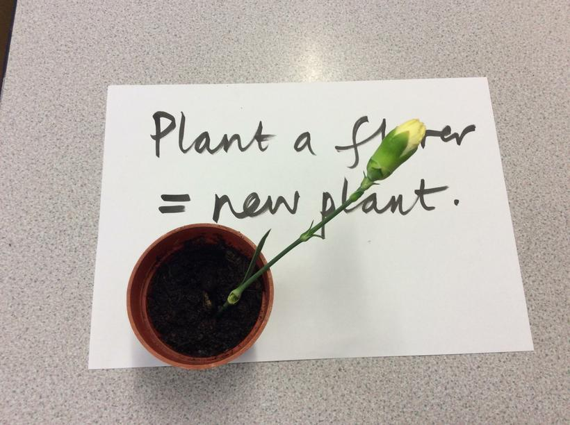 We plant a cut flower in compost