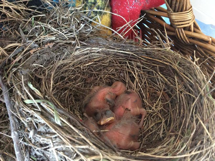 The eggs have hatched into 3 baby blackbirds!