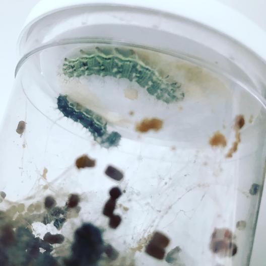 Week 4 - preparing for chrysalis
