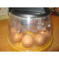The eggs keeping warm in the incubator.