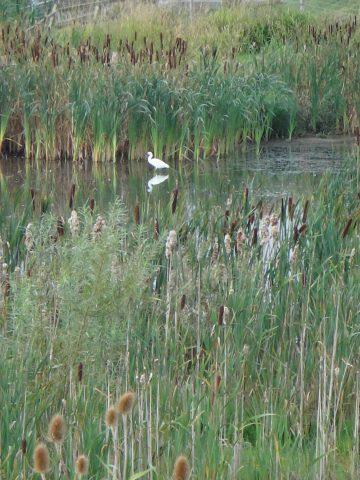 Egret at Horsbere Brook
