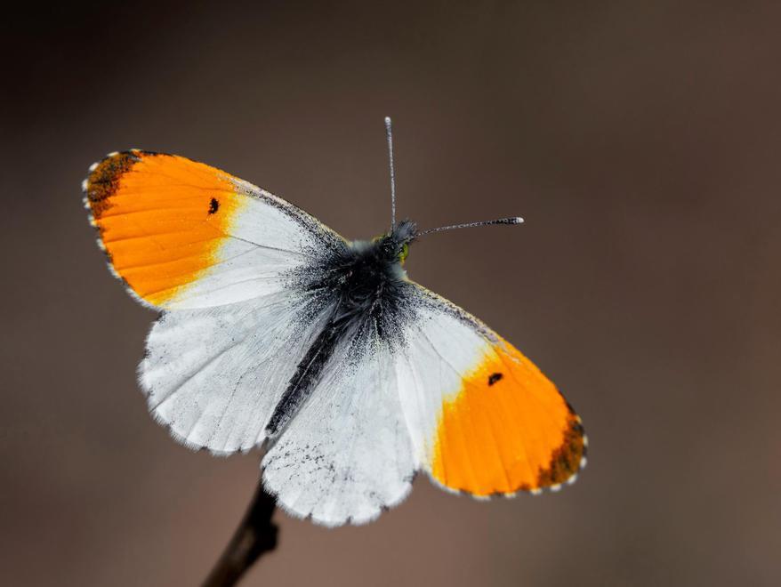 Orange tip