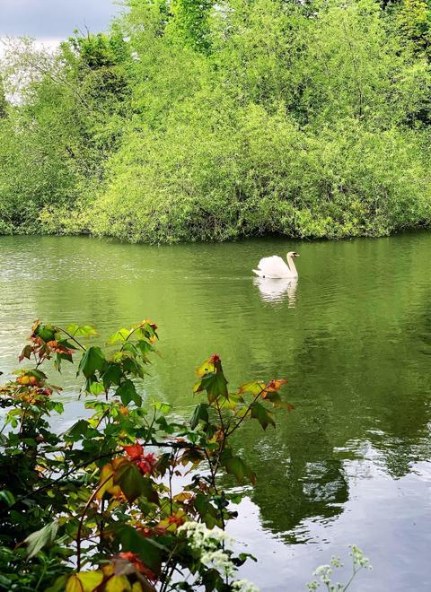 Lexie: Single Swan