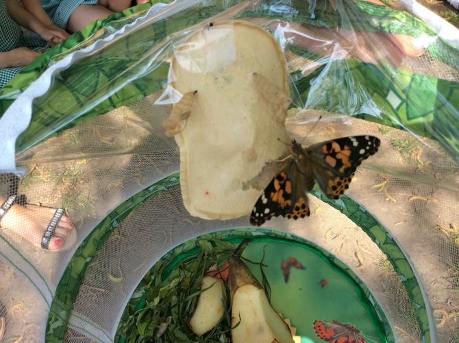 Our last butterfly came out of its chrysalis.
