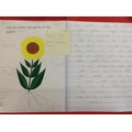 A piece of writing with facts about sunflowers.