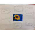 Writing about the life cycle of a sunflower