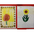 Labeling the parts of a sunflower.