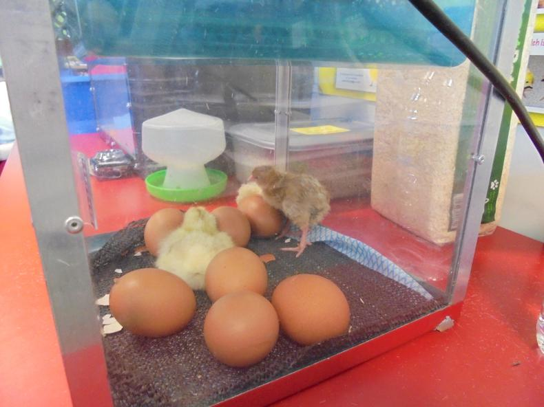 ...that have hatched into baby chicks!!