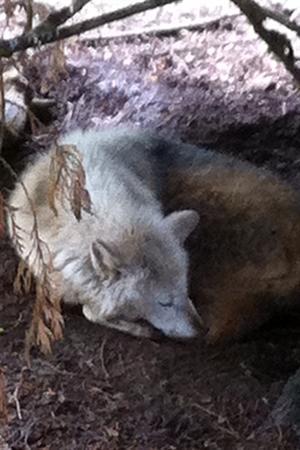 A sleeping Wolf