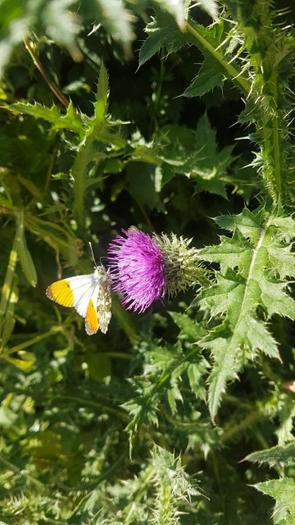Orange Tip - well done on the photo, they're fast!