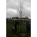 Bartlett Tree Experts helped us plant a Whitebeam