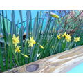 Our bulbs are growing into beautiful daffodils.