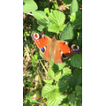 butterflies in the garden from Ruby