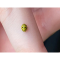 22 spotted ladybird