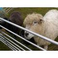 hello sheep