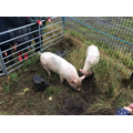 the cheeky pigs