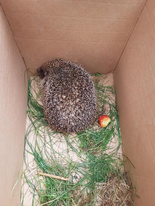 Lovely but large hedgehog that we rescued on Sunda