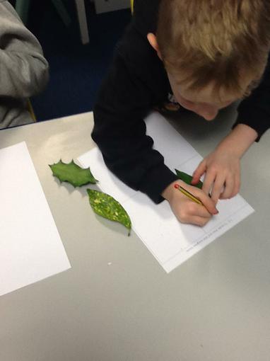 Observational drawing of a laurel leaf.