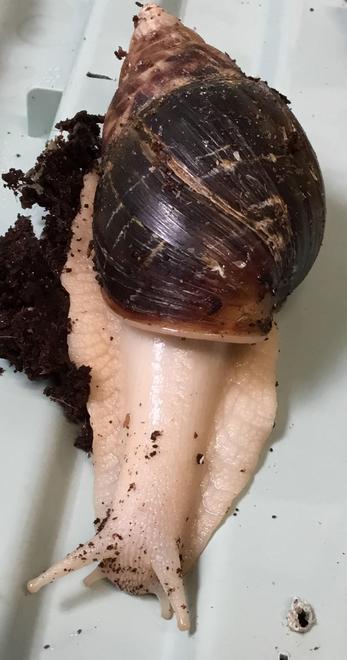 Tsunami (our new rescue snail)