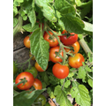 Vine tomatoes anyone?