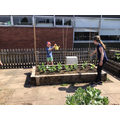 Watering the broad beans and lettuce