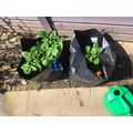 Gardening clubs potatoes are doing great!