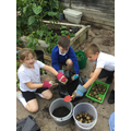 Harvesting the spuds