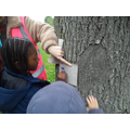 Taking bark rubbings