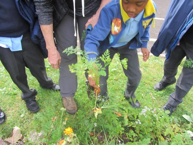 We are now working on a new story of the enormous....vegetable from the school garden! Guess which vegetable Maple Tree class have used?