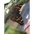 Our butterflies have emerged