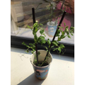 Look at Fin's bean plant!