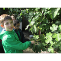 Science- Our fig tree