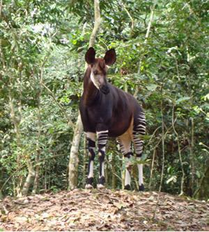 An Okapi camouflaged.