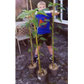 Thomas' sunflowers now at head height!