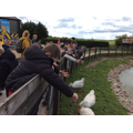 Feeding time for the geese