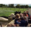 feeding time for the alpacas