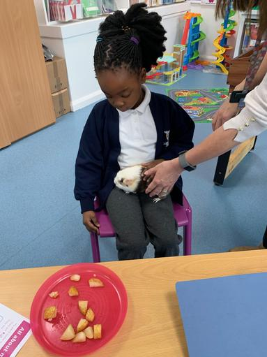 Animal care with Fidget the Guinea Pig