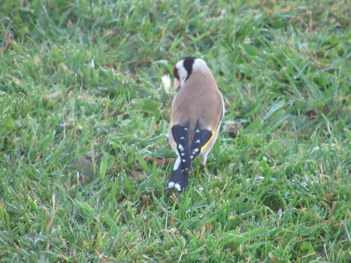 A Goldfinch in Arran's garden!