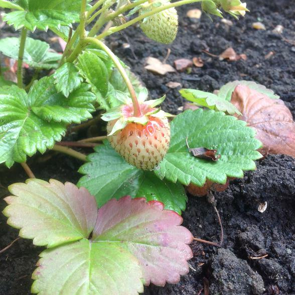 Strawberries are ripening
